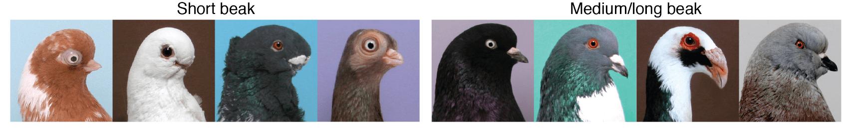 Representative images of individuals representing short beak